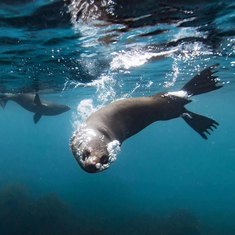 Roaring 40s kayaking blog - Tips for kayaking photography - Seal at Fortescue Bay on the Tasman Peninsula