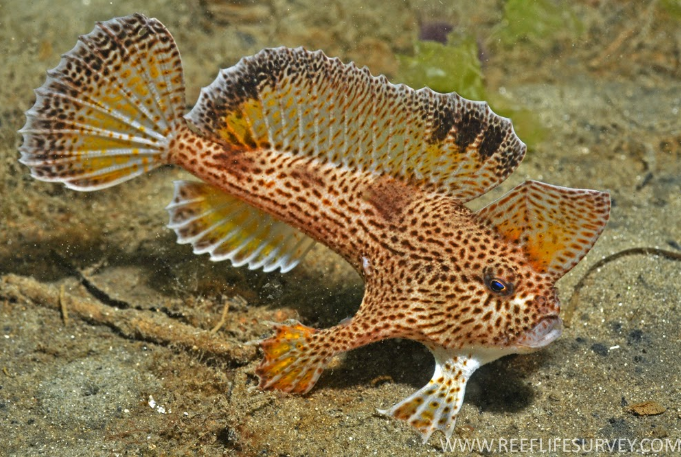 Spotted Handfish in the Derwent River